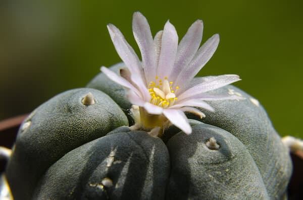 Mescaline is a psychedelic substance that come from different cactus plants